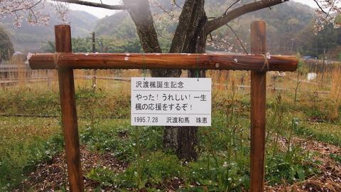 竹原桜1 (16)