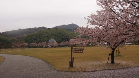 竹原桜1 (22)