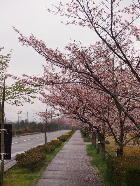 竹原桜1 (20)