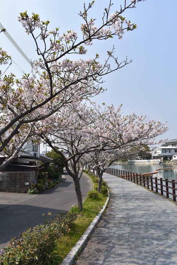 桜めぐり唐津2 (3)