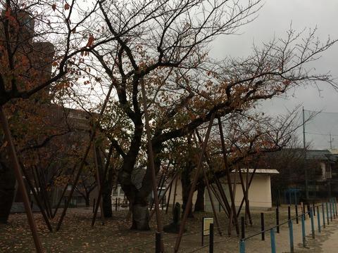 かよ子桜 (3)