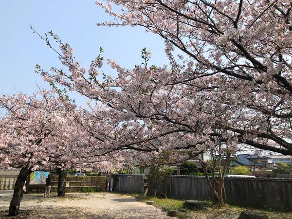桜めぐり唐津2 (30)