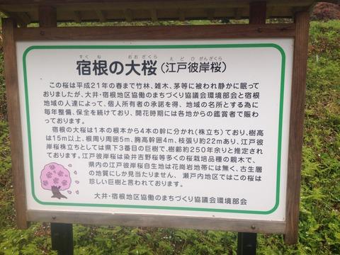 竹原桜2 (40)