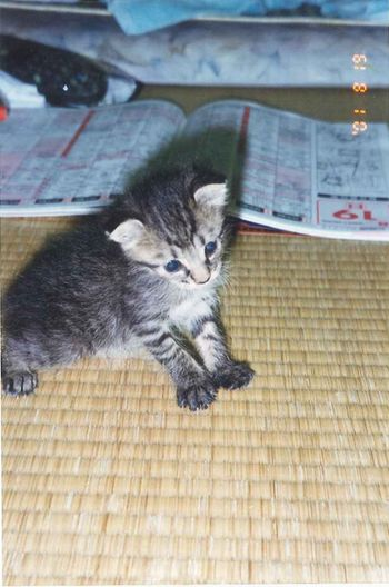 アメショな猫「ミミ」ちゃん