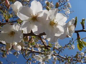 110406-大島桜