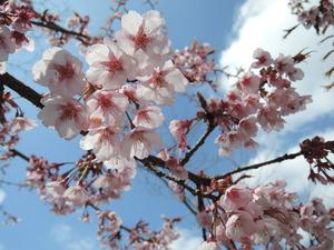 150318-河津桜2