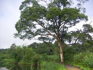 0808-樹1