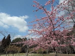 150318-河津桜1
