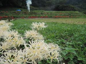 190930-白のヒガンバナ