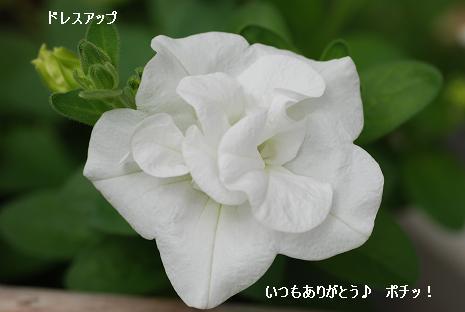 にほんブログ村 花ブログ バラ園芸へ