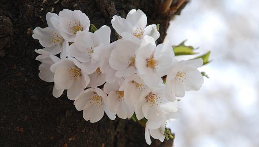 sakura_20120411074800.jpg
