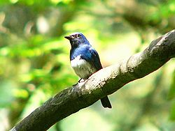 250px-Blue-and-white_Flycatcher