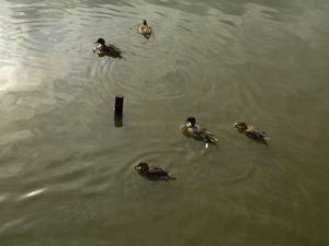 源氏池の鴨