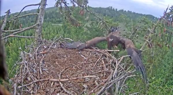 巣にうまく着陸できなかったワシに関連した画像-03