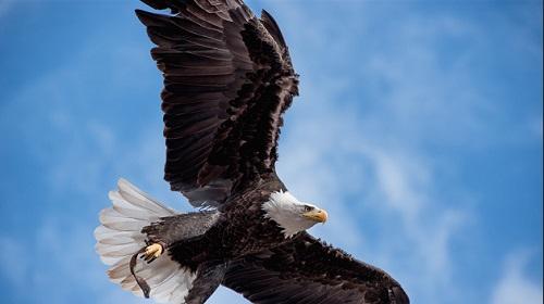 アメリカ ハクトウワシ ドローンに関連した画像-01