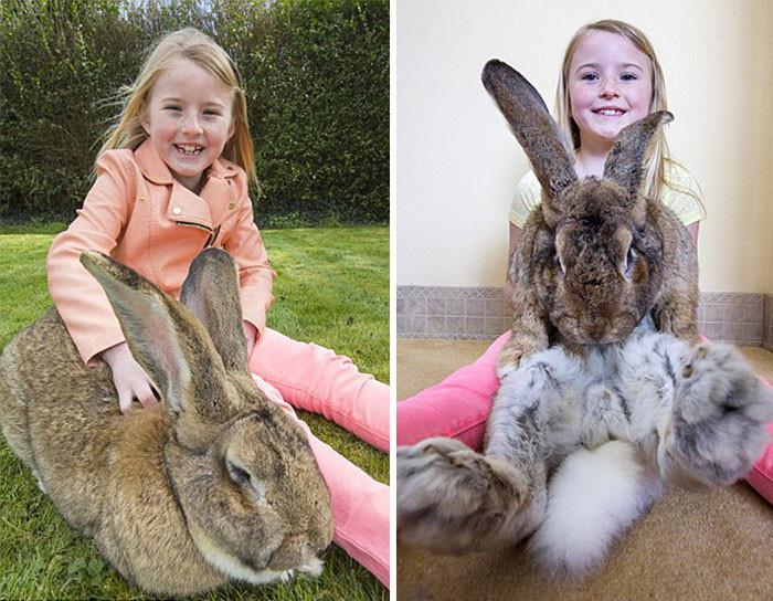世界一大きなウサギに関連した画像-04