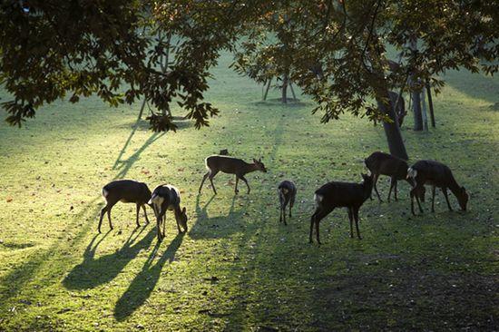 日本では鹿でさえ礼儀正しいに関連した画像-04