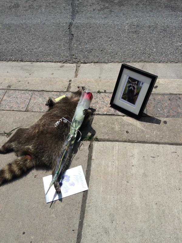 街中で死んだアライグマに、カナダ人が続々と追悼に関連した画像-03