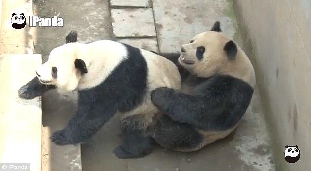 パンダの交尾時間が世界最長を記録に関連した画像-02