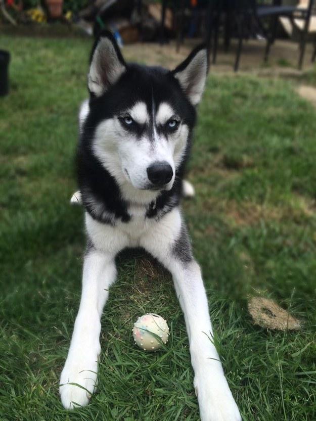 シベリアンハスキー犬のAnukoに関連した画像-04