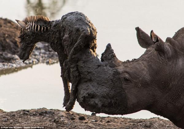 サイが泥沼に落ちた子シマウマを救出!が・・に関連した画像-05