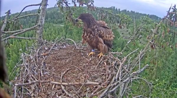 巣にうまく着陸できなかったワシに関連した画像-09