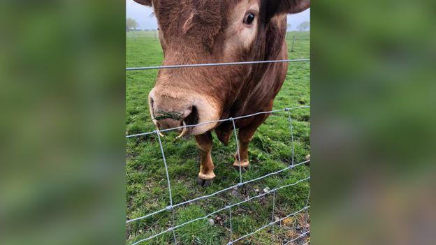 電柱でお尻をかいて停電に追い込んだリムジン牛のロン君に関連した画像-04
