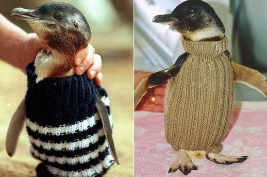 ペンギンにセーターをに関連した画像-03
