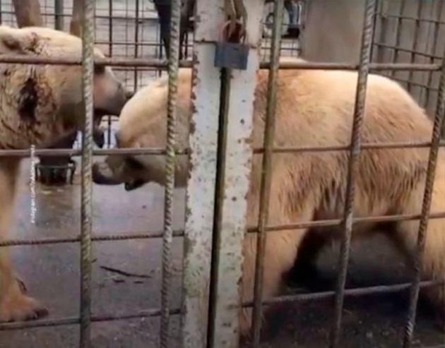 ロシア クマ 死亡に関連した画像-04