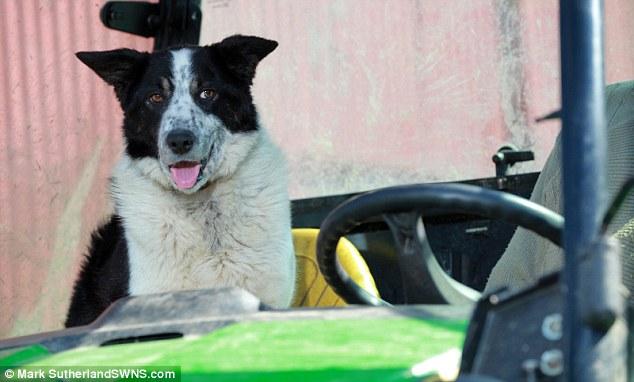 牧羊犬がトラクターを運転し、高速道路が交通渋滞に関連した画像-04