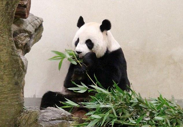 パンダ、クーラーのきいた部屋で豪華な生活をするため妊娠を偽るに関連した画像-03