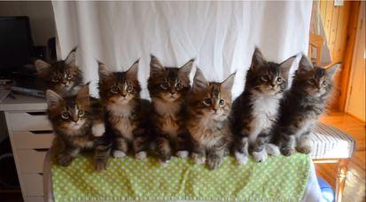 7匹の子ネコが驚異のシンクロに関連した画像-07