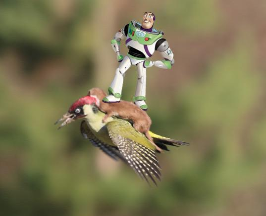 イタチがキツツキの背中に乗って、空を飛んだに関連した画像-07