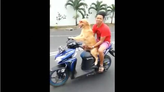 インドネシアで「バイクを運転する犬」に関連した画像-02