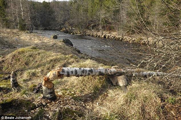ビーバー、自分のかじり倒した木の下敷きに関連した画像-02