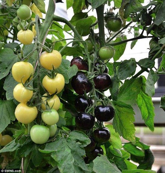 白と黒のトマトに関連した画像-02