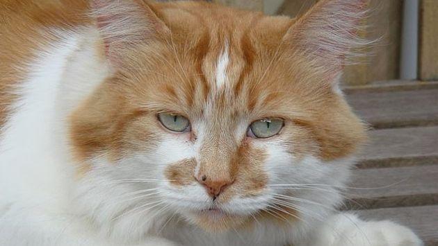 猫 長寿 メインクーンに関連した画像-01