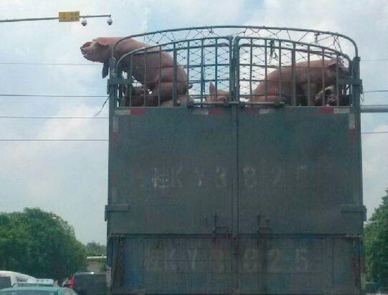 豚、空を飛ぶ(中国)に関連した画像-02