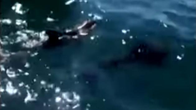 モーリシャス諸島 イルカ 死亡 母子に関連した画像-03