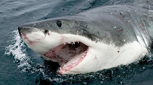 オーストラリア サメ サーフィンに関連した画像-01
