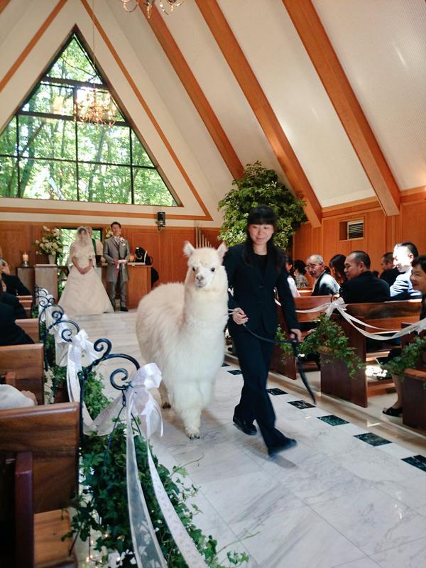 栃木では結婚式にアルパカが参列に関連した画像-02