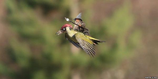 イタチがキツツキの背中に乗って、空を飛んだに関連した画像-05