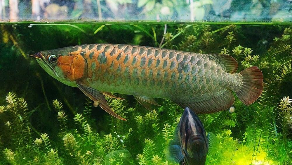 TikTok インドネシア アロワナ 観賞魚