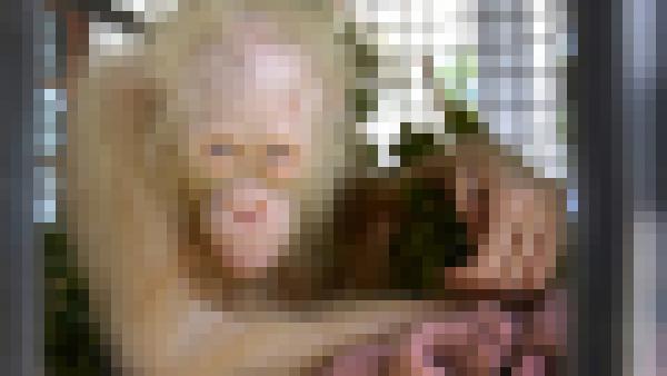 アルビノ種のオランウータンに関連した画像-01