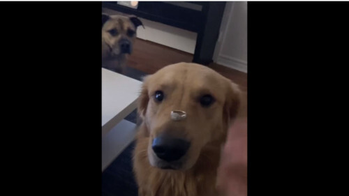 犬 動画 婚約指輪に関連した画像-01