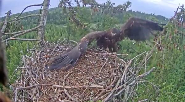 巣にうまく着陸できなかったワシに関連した画像-08