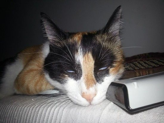 日本一寝顔が酷い絶世の美猫セツちゃんに関連した画像-12