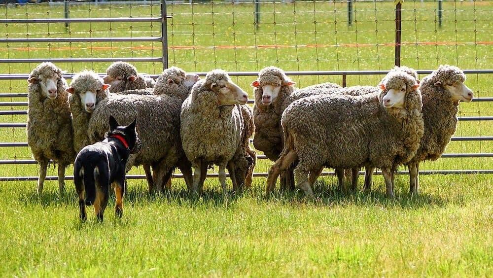 ティリー 犬 ボーダー・コリー アメリカ 牧羊犬