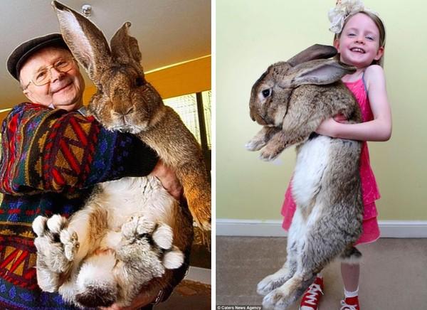 世界一大きなウサギに関連した画像-02