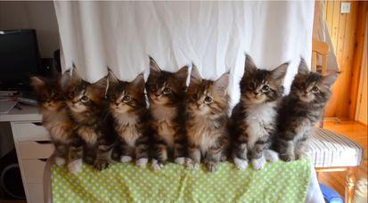 7匹の子ネコが驚異のシンクロに関連した画像-04
